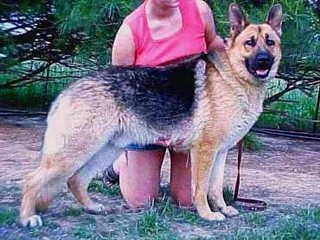 german shepherds with well defined stops