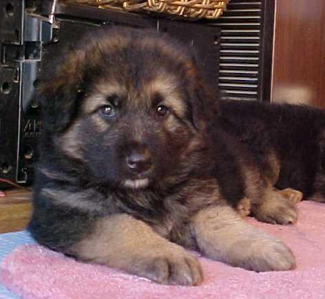 Long haired German Shepherd Gretchen&39s puppies.