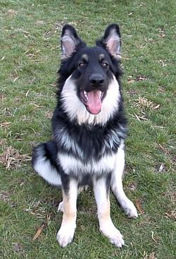 Ayer S Long Coat German Shepherds Breeder S New Prior