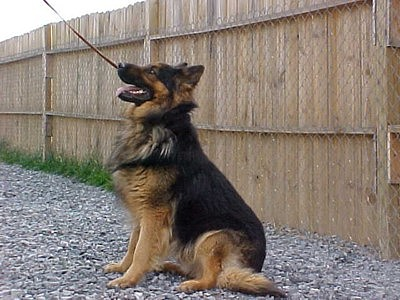 black and red long coat german shepherd