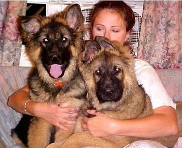 longcoat red sable german shepherds