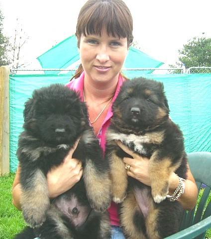 Ayersplush Coated German Shepherds Puppies