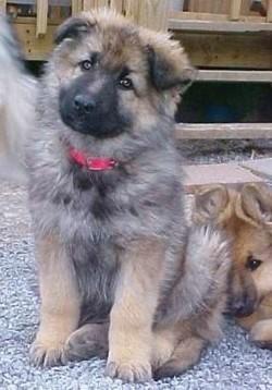 how to train german shepherd to bark at strangers