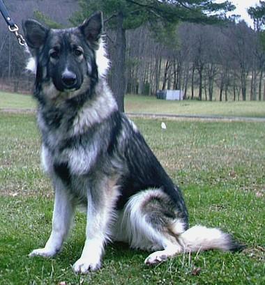 Old Fashioned Style Longcoat German Shepherds Oversized