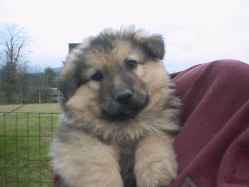 Longhaired German Shepherd Puppies From Soki And Pippi