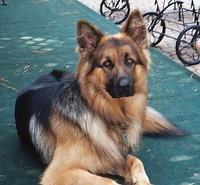 Ayers Long Coat German Shepherds Breeders New Prior Litter Puppies